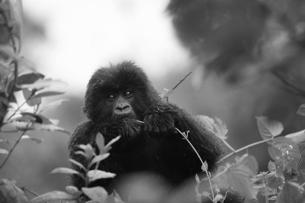Gorillapoeg